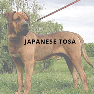 Japanese Tosa